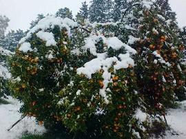 کیوی و پرتقال علیرغم سرمازدگی باغات شمال افزایش قیمت ندارد