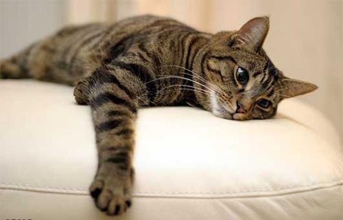گربه ايراني؛ چهارمين گربه گران دنيا +عكس