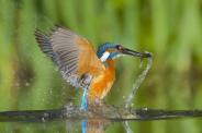 لحظات شکار مرغ ماهی خوار