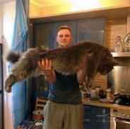 این گربه های عظیم الجثه از سگ بزرگترند!
