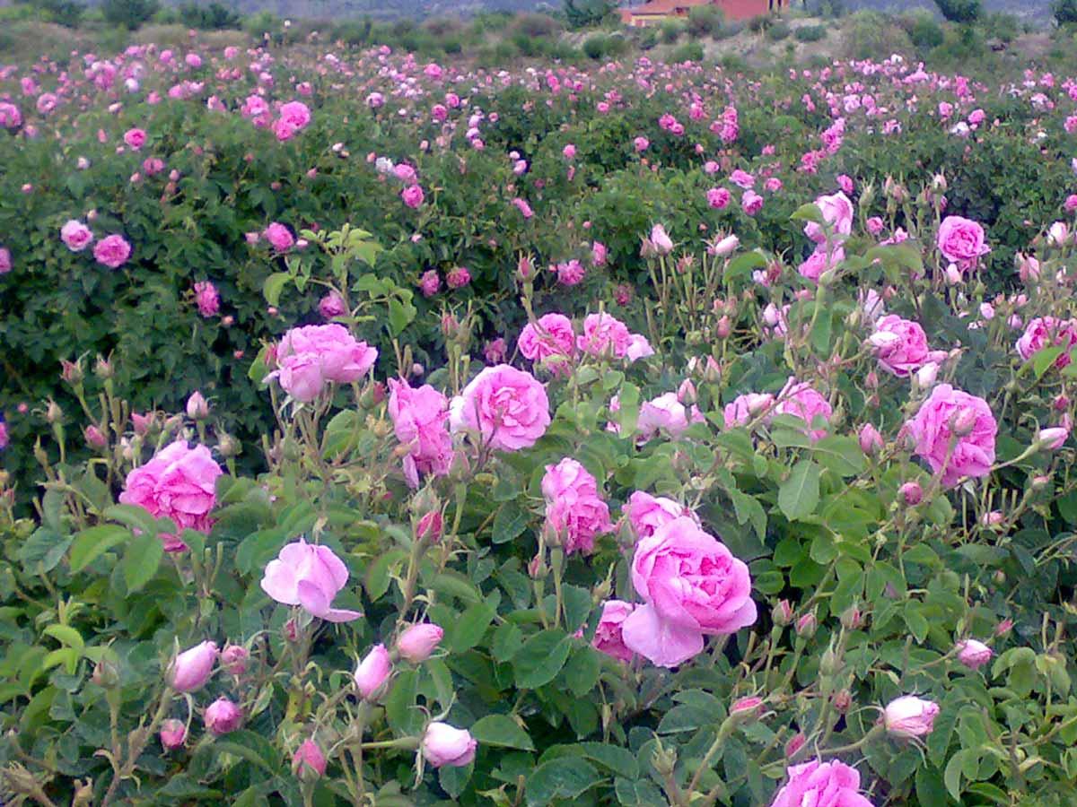 نتیجه تصویری برای باغ گل محمدی