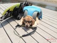 بیلی، سگ بامزه همه کاره!