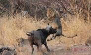 حیات وحش آفریقا عکس(بخش چهارم)
