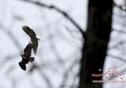 تصاویر جالب از عقاب سر سفید در نیویورک