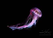 تصاویر زیبا از عروس دریایی