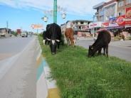 استفاده از گاو به جای دستگاه چمن زن در نمک آبرود + تصاویر