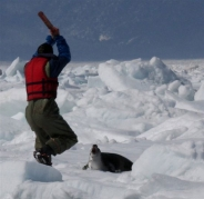 کشتار بی رحمانه فوک ها به دست ماهیگیران کانادایی+ تصاویر
