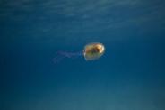 ماهی در دام عروس دریایی / عکس