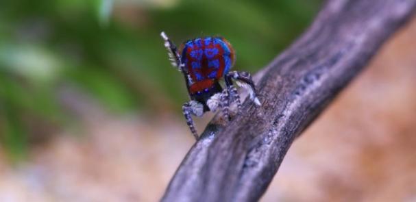 فیلم  رقص عنکبوت طاووسی نر برای دلبری از عنکبوت ماده