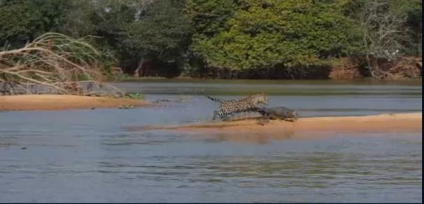فیلم : ویدئویی منحصر به فرد از شکار شدن تمساح توسط جگوار