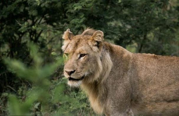 فیلم : شیر وحشی نگهبان گله گوسفدان شد