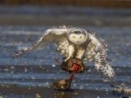 تصاویر زیبای جغدها در حال شکار و پرواز