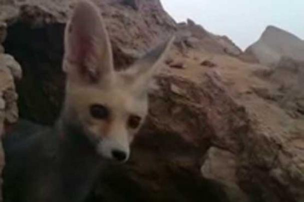 فیلم : روباه تلفن دزد