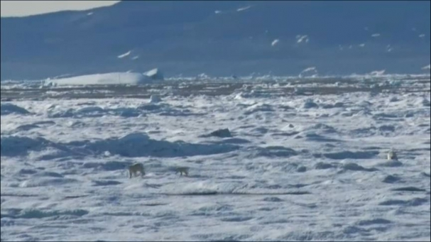 فیلم : لحظه های منحصر به فرد از شکار شدن توله خرس قطبی توسط پدر