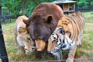 عکس : دوستی خرس، ببر و شیر