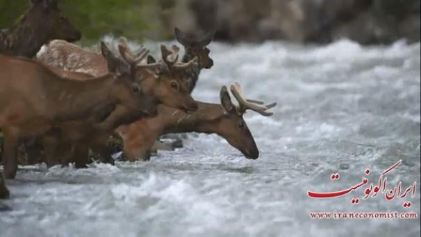 فیلم : مهاجرت گوزن ها در پارک ملی یلواستون