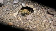 زندگی نوعی زنبور در میان مواد مذاب آتشفشانی+تصاویر