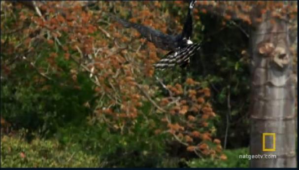 فیلم : شکار عقاب مادر برای جوجه گرسنه