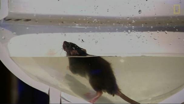 فیلم : چگونگی ورود موش ها به سرویس های بهداشتی منزل
