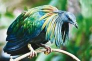 زیباترین کبوتر دنیا + عکس