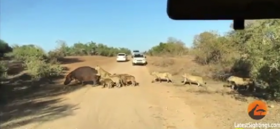 فیلم : شکار اسب آبی در جاده توسط ده ها شیر در مقابل گردشگران