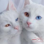 گربه های دوقولو با چشمانی حیرت انگیز + تصاویر