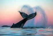 تصاویر زیبا از نهگ ها در قطب شمال