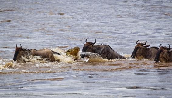 فیلم : کوروکدیل خطرناک ترین شکارچی رودخانه