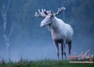 عکس : گوزن سفید سوئدی