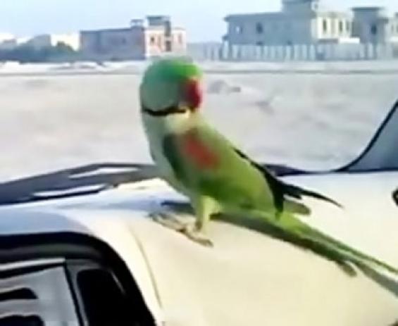 فیلم : رقص طوطی خوشگل و دوست داشتنی با آهنگ عربی
