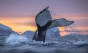 تصاویری از دهان و دندانهای نهنگ عنبر