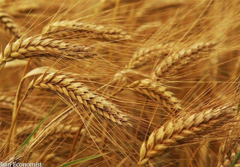 بی نیازی از واردات گندم در گرو اصلاح قیمت خرید تضمینی
